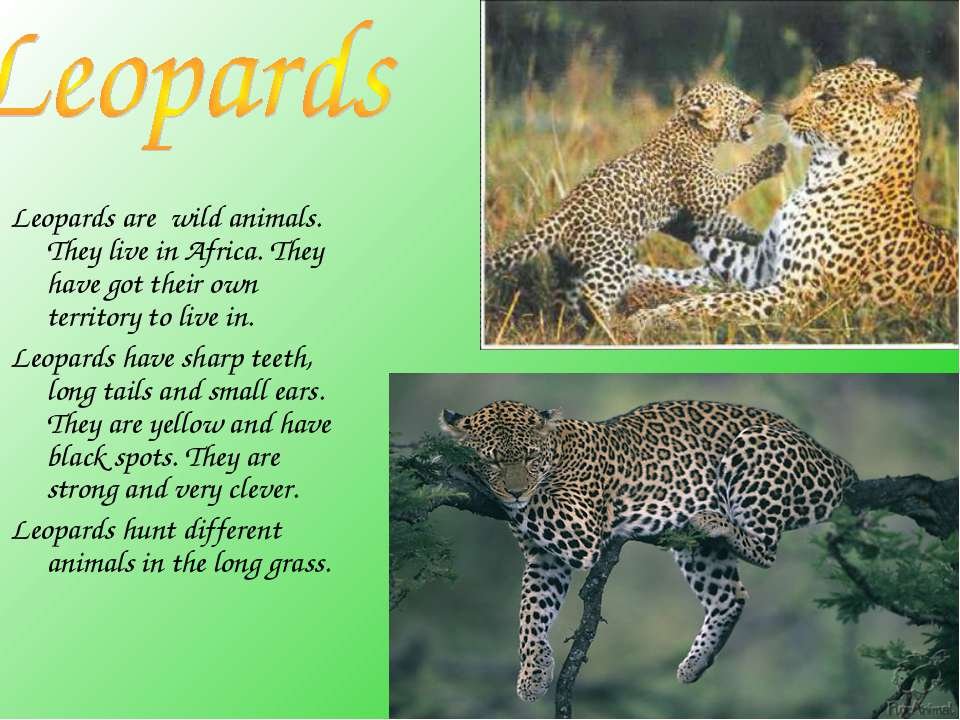 Leopards are wild animals. They live in Africa. They have got their own terri...
