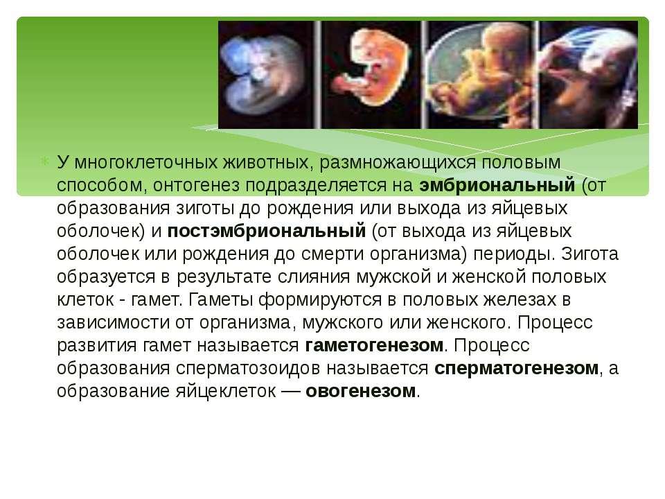 У многоклеточных животных, размножающихся половым способом, онтогенез подразд...
