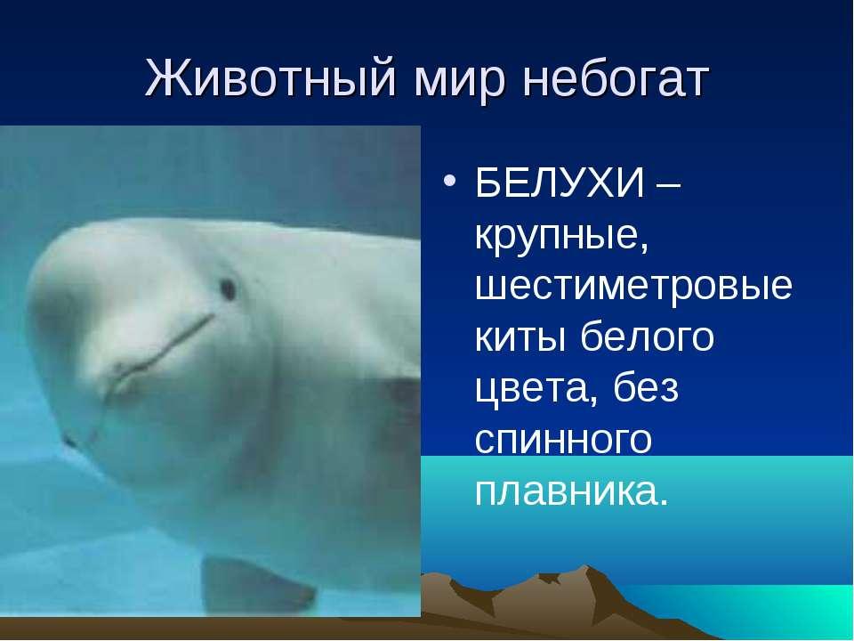 Животный мир небогат БЕЛУХИ –крупные, шестиметровые киты белого цвета, без сп...