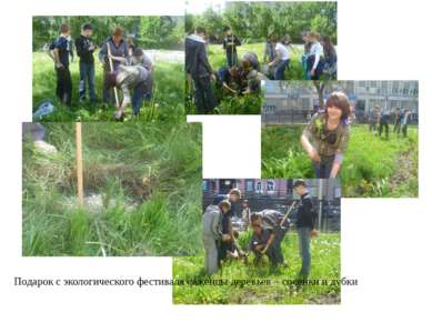 Подарок с экологического фестиваля саженцы деревьев – сосенки и дубки