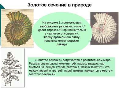 Золотое сечение в природе «Золотое сечение» встречается в растительном мире. ...