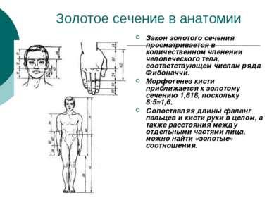 Золотое сечение в анатомии Закон золотого сечения просматривается в количеств...