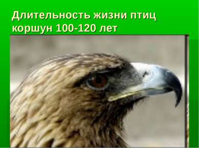 Длительность жизни птиц коршун 100-120 лет