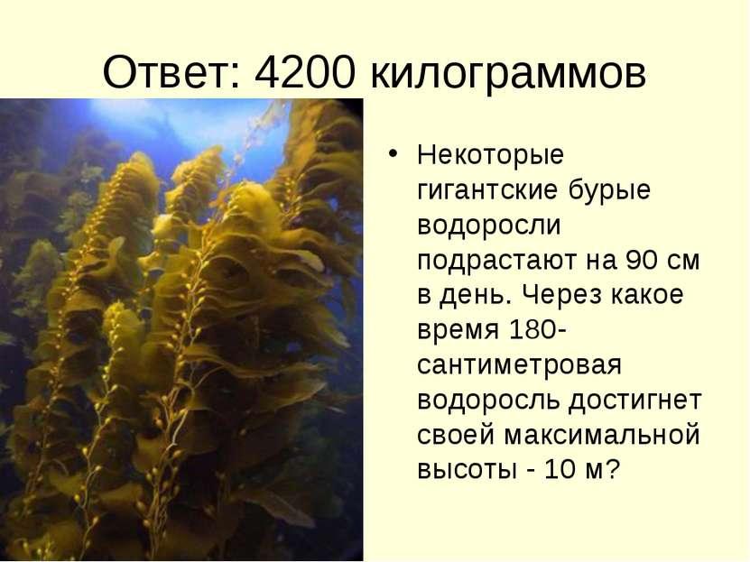 Ответ: 4200 килограммов Некоторые гигантские бурые водоросли подрастают на 90...