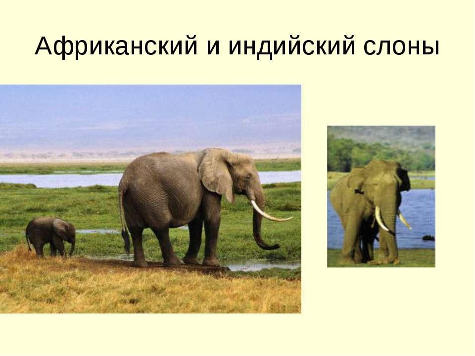 Африканский и индийский слоны
