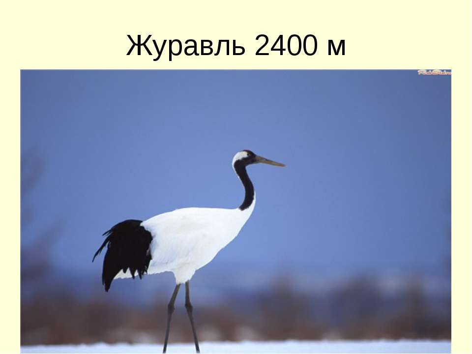 Журавль 2400 м
