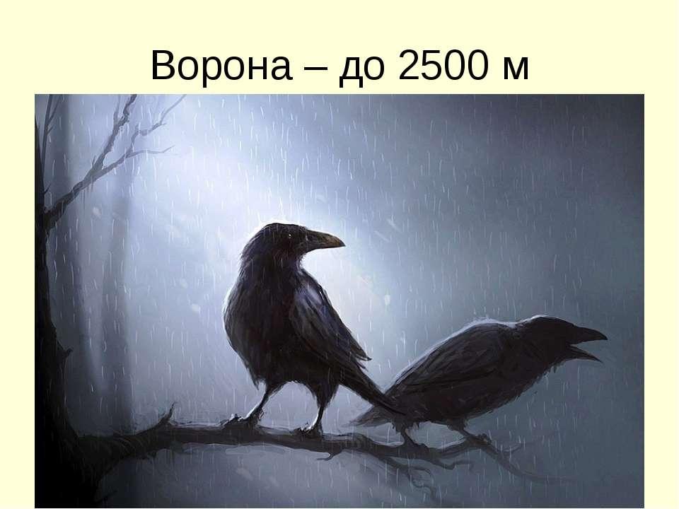 Ворона – до 2500 м
