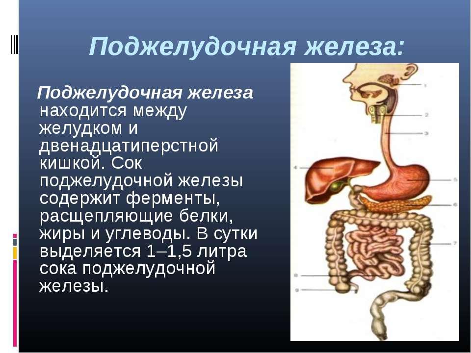 Поджелудочная железа: Поджелудочная железа находится между желудком и двенадц...
