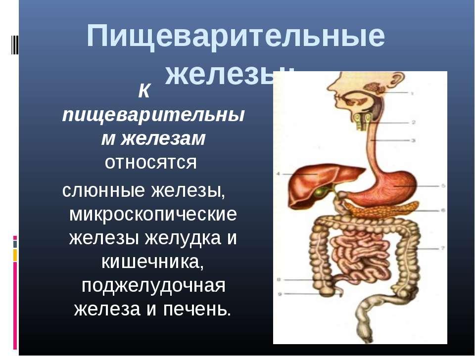 Пищеварительные железы: К пищеварительным железам относятся слюнные железы, ...