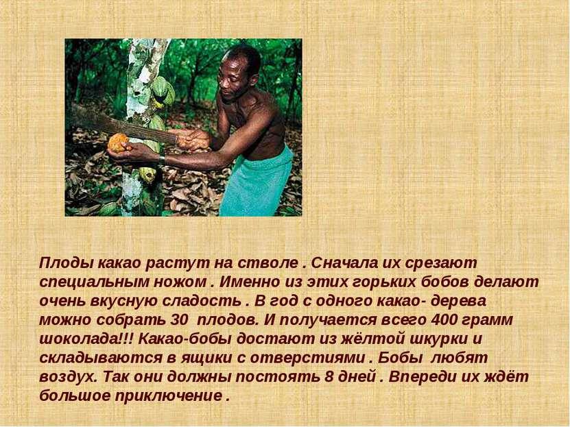 Плоды какао растут на стволе . Сначала их срезают специальным ножом . Именно ...