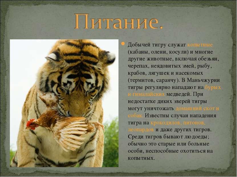 Добычей тигру служат копытные (кабаны, олени, косули) и многие другие животны...