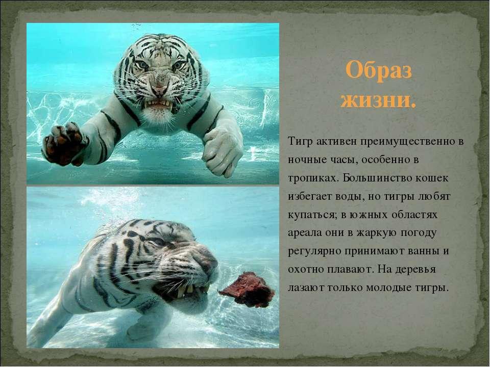 Тигр активен преимущественно в ночные часы, особенно в тропиках. Большинство ...
