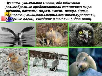 Чукотка- уникальное место, где обитают разнообразные представители животного ...