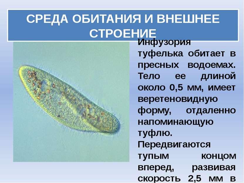 СРЕДА ОБИТАНИЯ И ВНЕШНЕЕ СТРОЕНИЕ Инфузория туфелька обитает в пресных водоем...