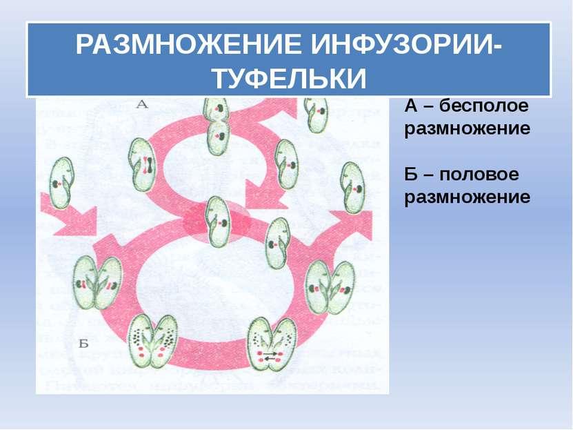 РАЗМНОЖЕНИЕ ИНФУЗОРИИ-ТУФЕЛЬКИ А – бесполое размножение Б – половое размножение