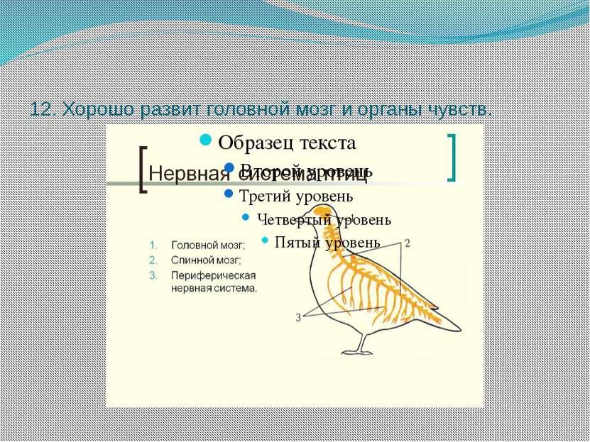 12. Хорошо развит головной мозг и органы чувств.