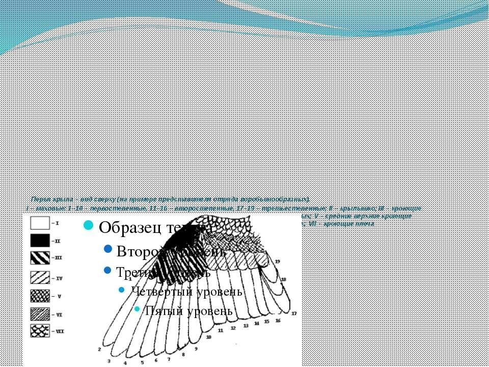Перья крыла – вид сверху (на примере представителя отряда воробьинообразных)...