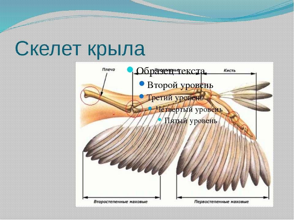 Скелет крыла