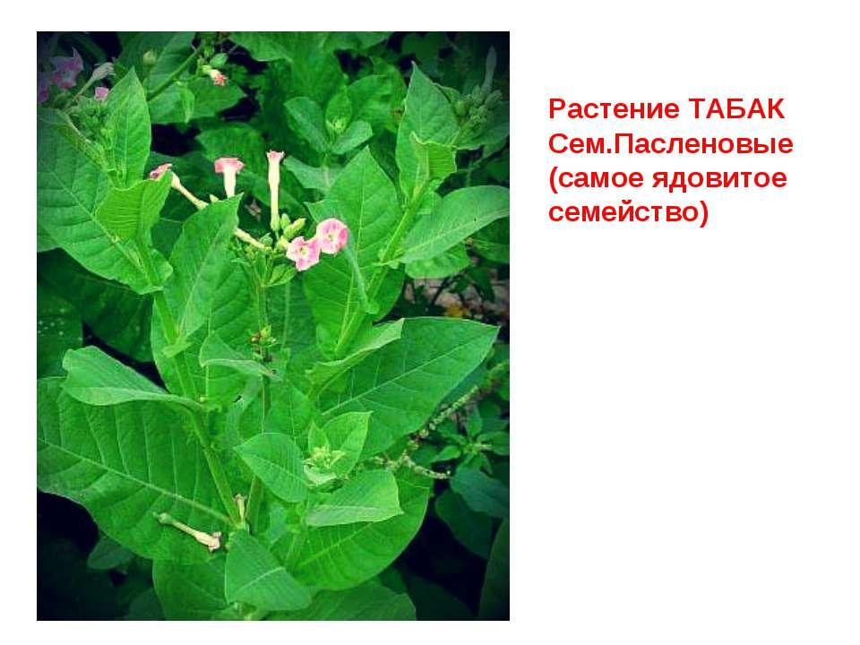 Растение ТАБАК Сем.Пасленовые (самое ядовитое семейство)