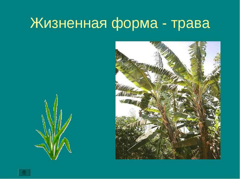 Жизненная форма - трава