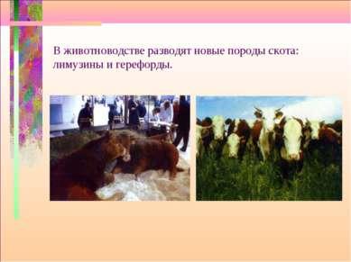 В животноводстве разводят новые породы скота: лимузины и герефорды.