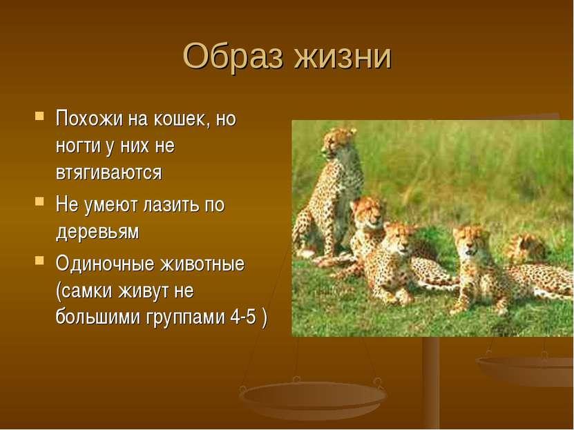 Образ жизни Похожи на кошек, но ногти у них не втягиваются Не умеют лазить по...