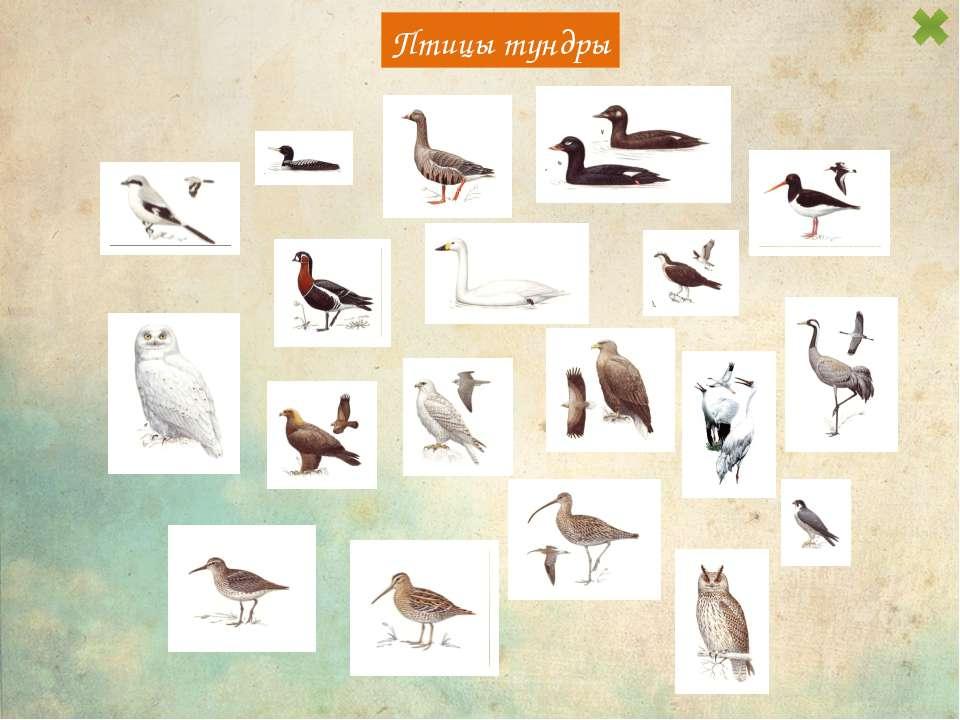 Птицы тундры Небольшой гусь с коротким клювом и шеей. Окраска из сочетания че...