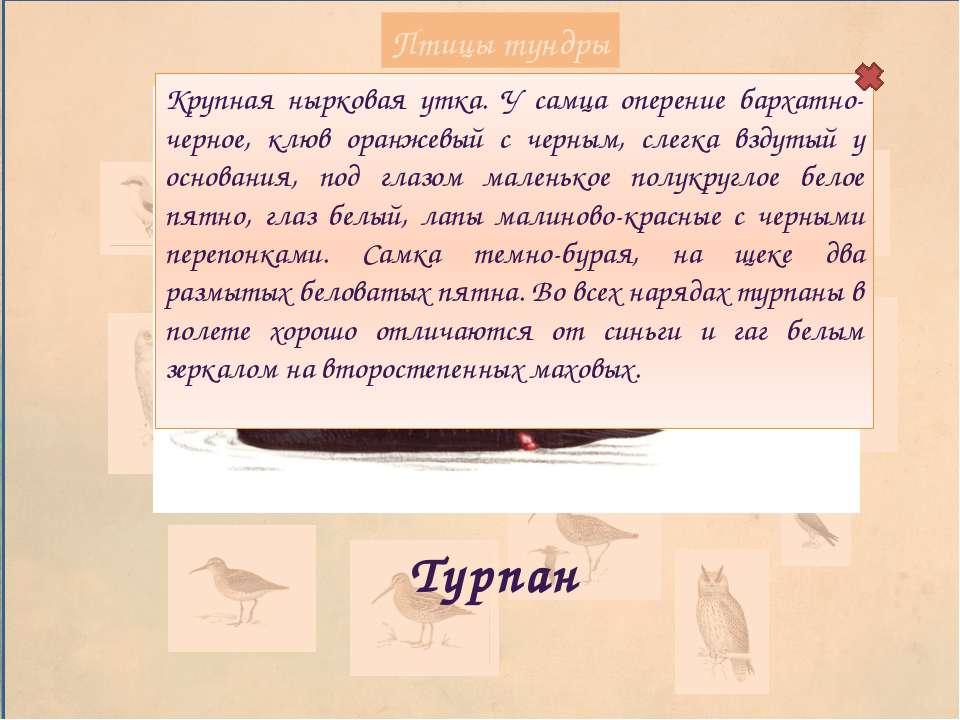 Птицы тундры Кречет Крупный сокол, размах крыльев 125–135 см. Окраска от почт...
