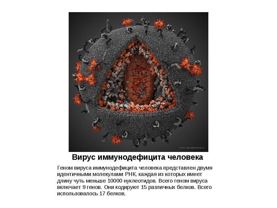 Вирус иммунодефицита человека Геном вируса иммунодефицита человека представле...
