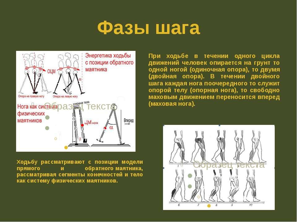 Фазы шага Ходьбу рассматривают с позиции модели прямого и обратногомаятника,...