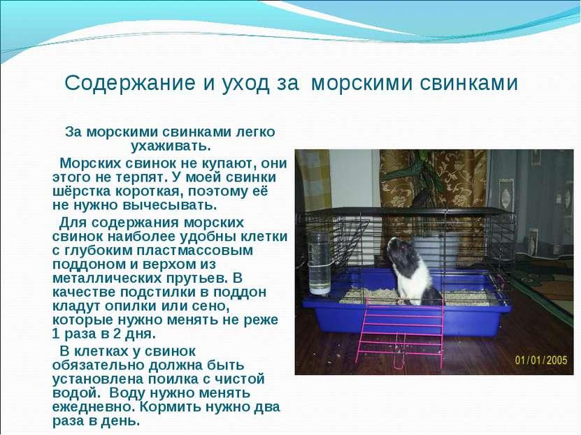 Содержание и уход за морскими свинками За морскими свинками легко ухаживать. ...
