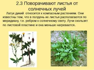 2.3 Поворачивают листья от солнечных лучей Латук дикий относится к компасным ...