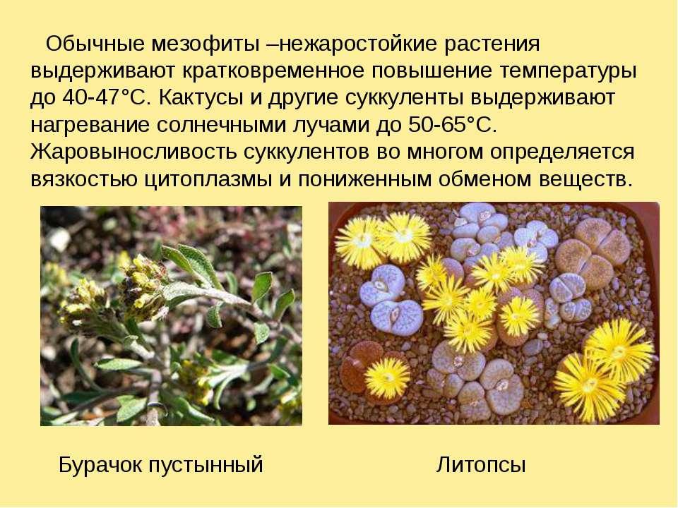 Обычные мезофиты –нежаростойкие растения выдерживают кратковременное повышени...