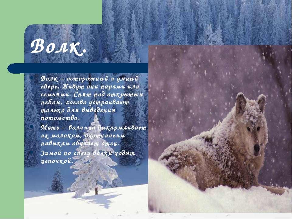 Волк. Волк – осторожный и умный зверь. Живут они парами или семьями. Спят под...