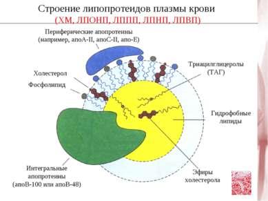 Строение липопротеидов плазмы крови (ХМ, ЛПОНП, ЛППП, ЛПНП, ЛПВП) Периферичес...