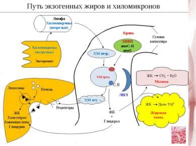 Путь экзогенных жиров и хиломикронов Рецепторы ХМ ост. ХМ незр. ЛПВП апоС-II ...