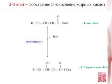 2-й этап – Собственно β -окисление жирных кислот Н2О ОН О      R – CH2 – CH –...