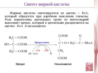 Жирные кислоты синтезируются из ацетил – КоА, который образуется при аэробном...