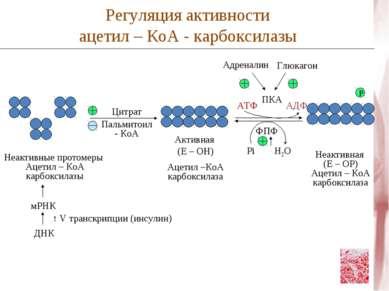 Цитрат Пальмитоил - КоА Неактивные протомеры Ацетил – КоА карбоксилазы мРНК Д...