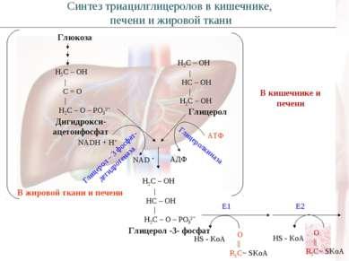 Глюкоза Н2С – ОН   С = О   Н2С – О – РО3²ˉ Дигидрокси- ацетонфосфат NADH + H+...