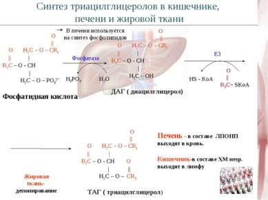 O    O H2C – O – CR1      R2C – O - CH   H2C – O – PO3²ˉ Фосфатидная кислота ...