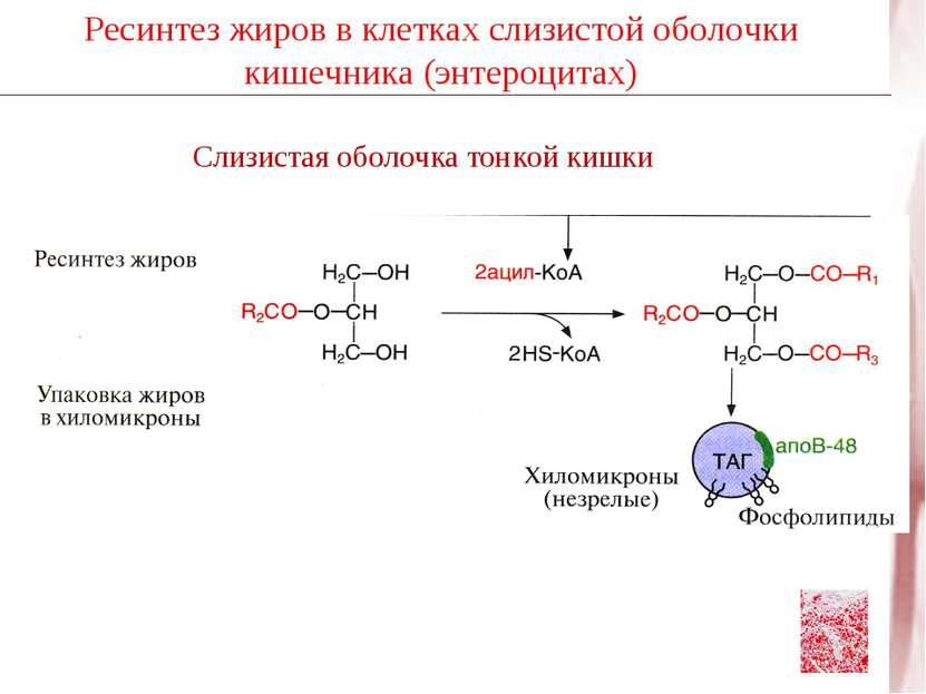 Ресинтез жиров в клетках слизистой оболочки кишечника (энтероцитах)