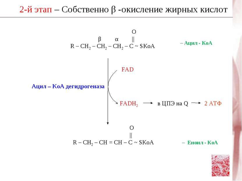 2-й этап – Собственно β -окисление жирных кислот О β α    R – CH2 – CH2 – CH2...