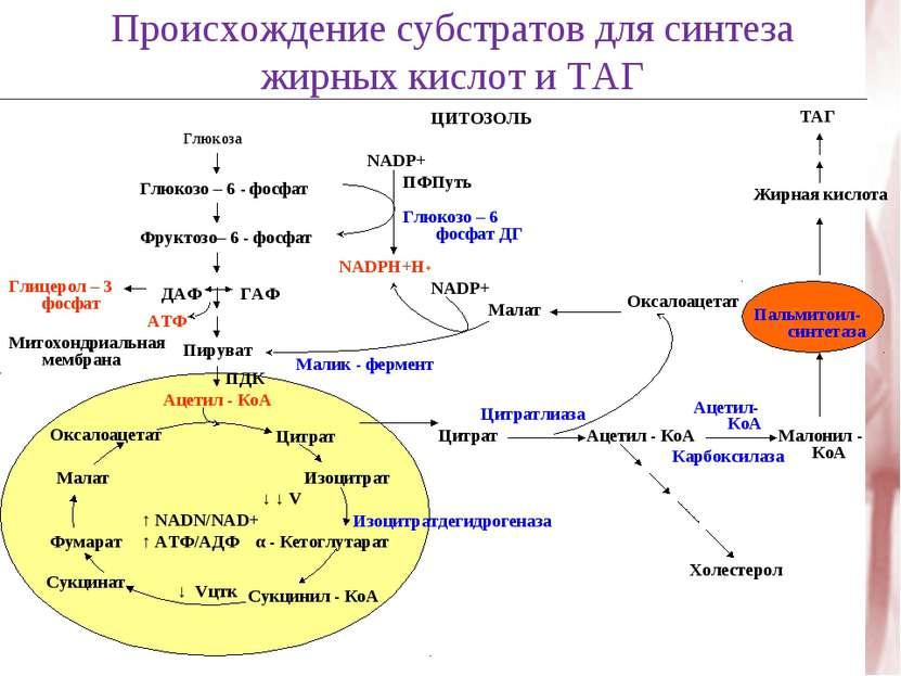 Происхождение субстратов для синтеза жирных кислот и ТАГ Глюкоза Глюкозо – 6 ...