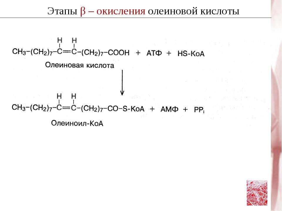 Этапы β – окисления олеиновой кислоты