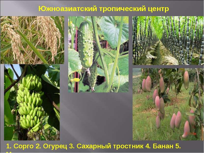 1. Сорго 2. Огурец 3. Сахарный тростник 4. Банан 5. Манго Южноазиатский тропи...