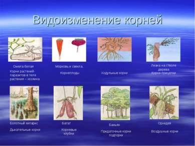 Видоизменение корней Омела белая Корни растений- паразитов в теле растения – ...