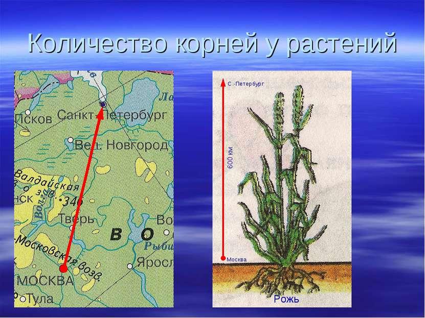 Количество корней у растений Москва С.-Петербург 600 км Рожь