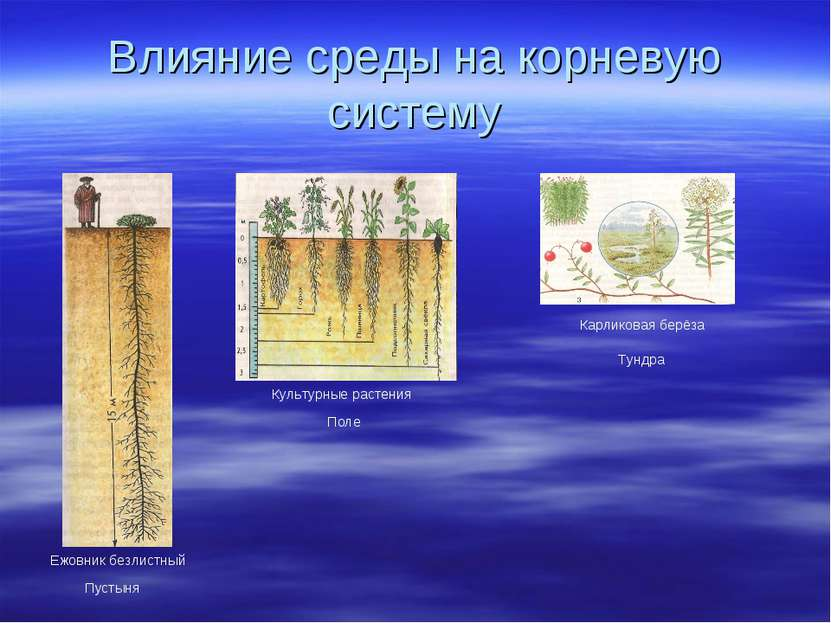 Влияние среды на корневую систему Ежовник безлистный Пустыня Культурные расте...