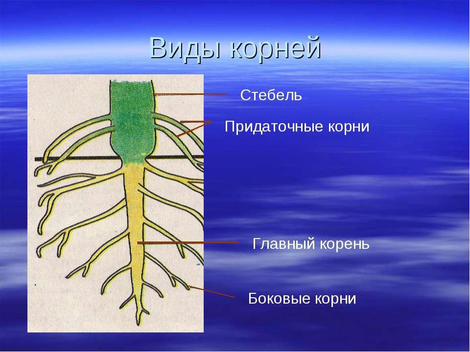 Виды корней Главный корень Боковые корни Придаточные корни Стебель
